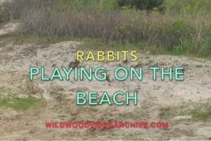 Bunnies On The Wildwood Beach
