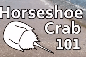 Horseshoe Crabs 101