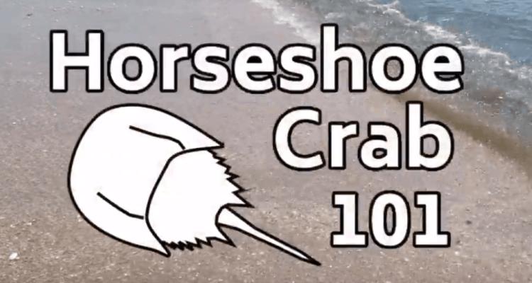 Horseshoe Crabs 101