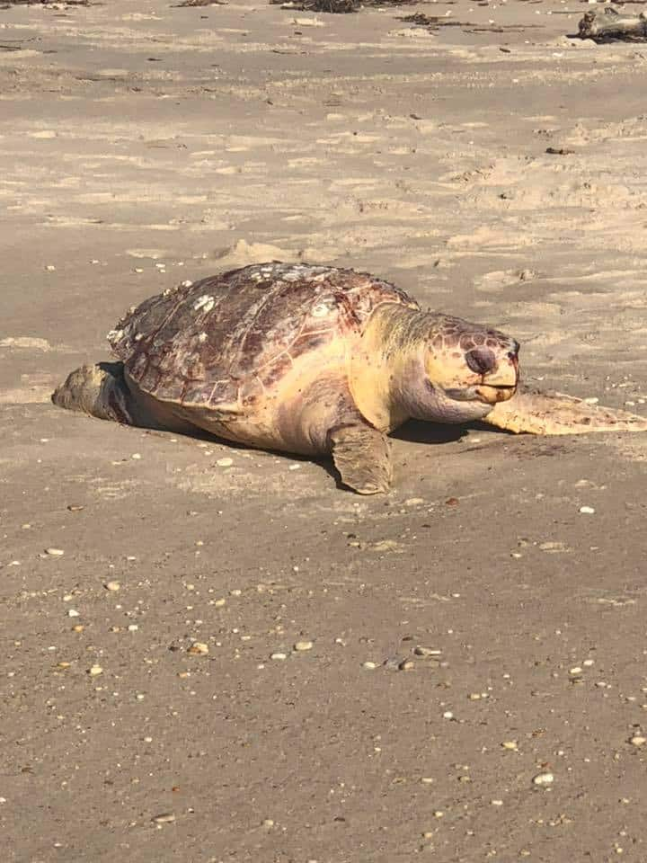 Large Leatherback Turtle Washes Up In Cape May