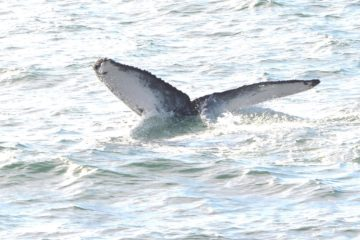 Humpback Whales Off The Coast Of New Jersey (Video)