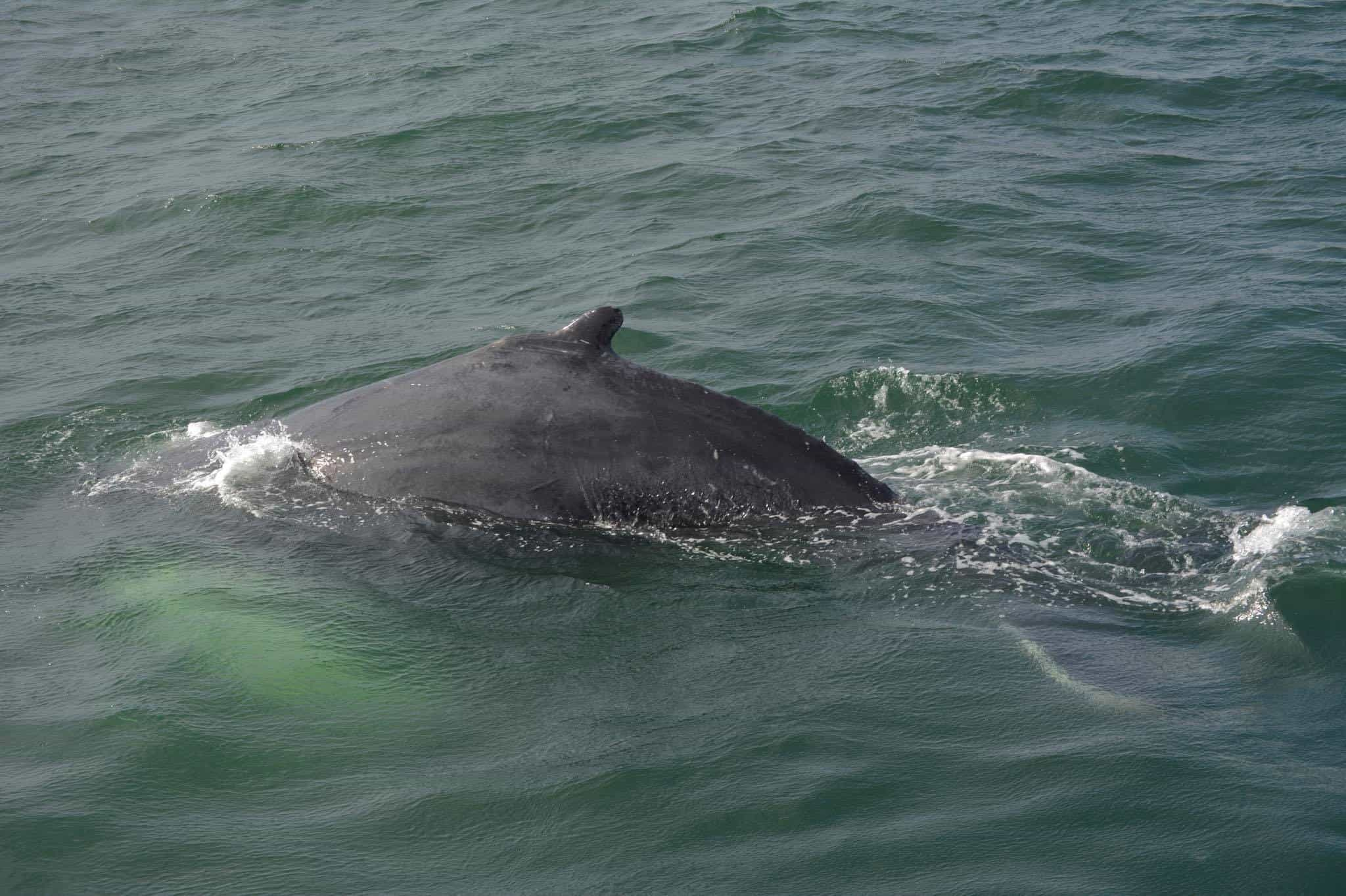 Cape May Whale