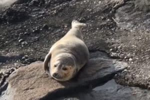 North Wildwood Injured Seal Rescued