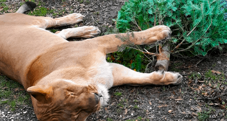 Donate Your Christmas Tree To A Lion
