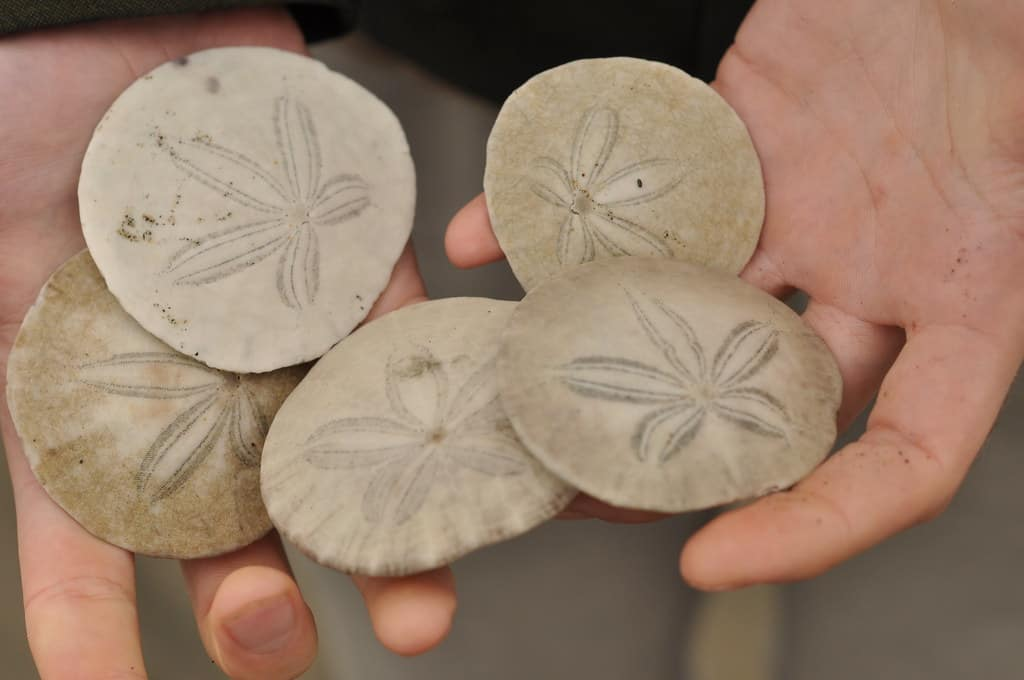 Where To Find Wildwood Sand Dollars?!