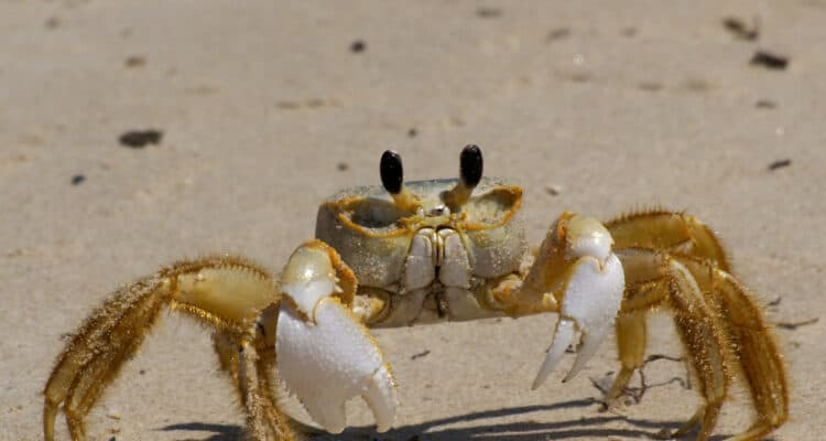 Why Are There Ghost Crabs In Wildwood Crest?